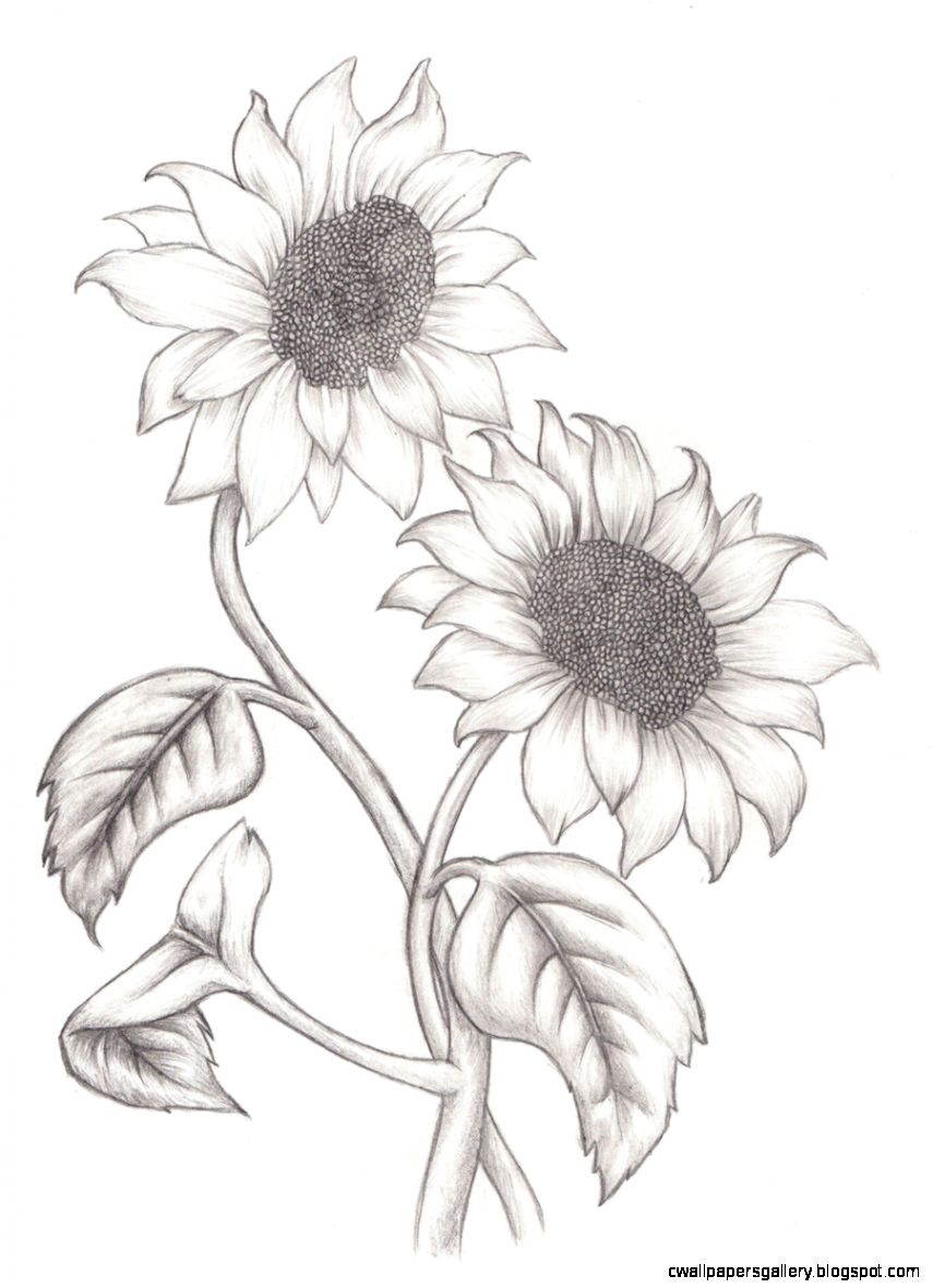1000 images about line drawings on Pinterest  Sunflowers