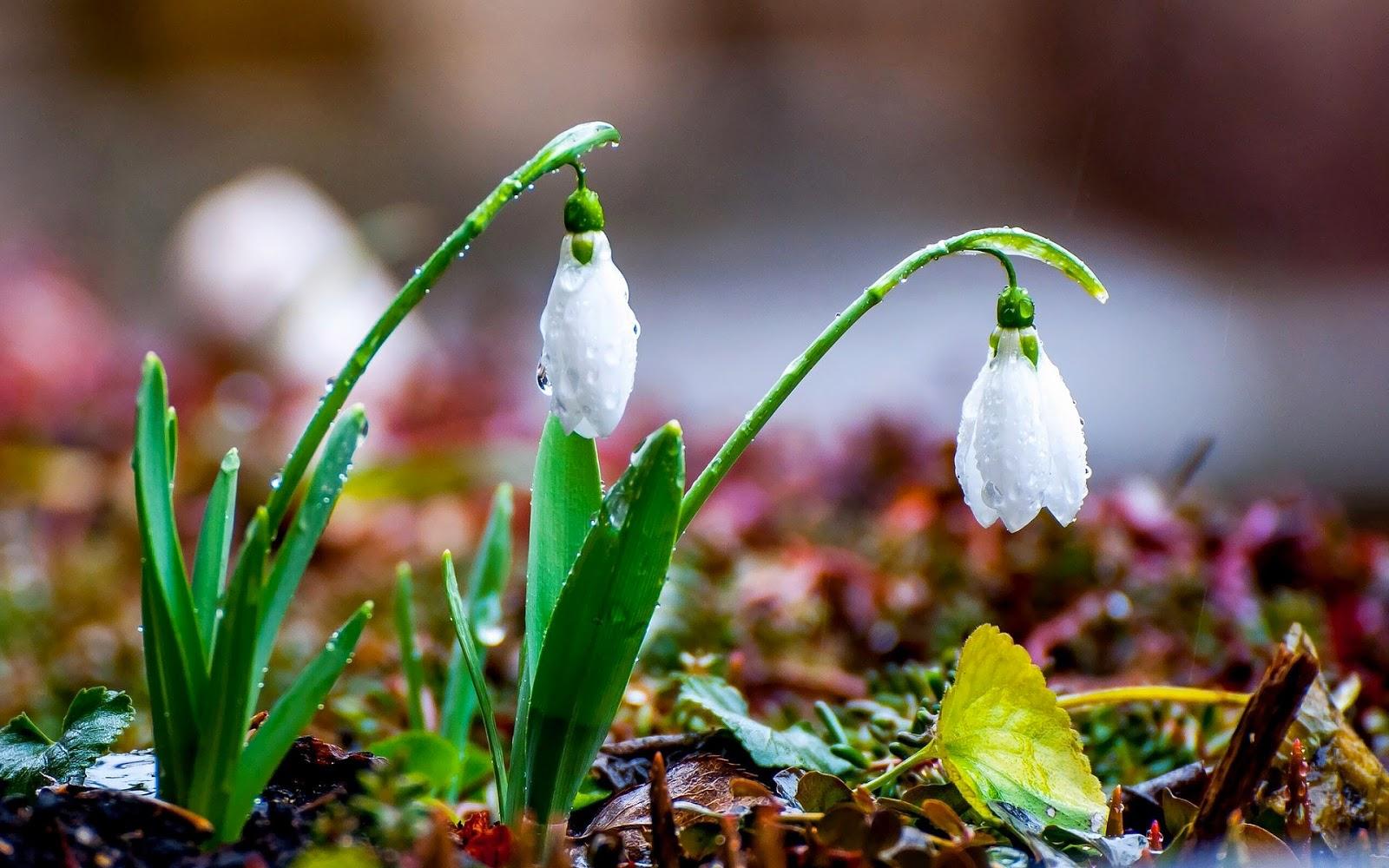 Foto met witte sneeuwklokjes nat van de regen