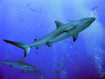 tiburon aletas negras Carcharhinus limbatus