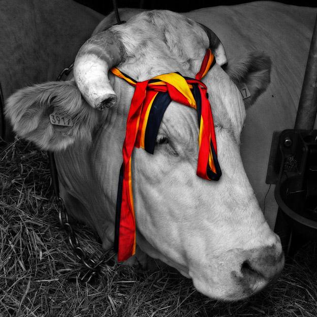 photo, taureau blonde d'aquitaine, vache, foire de Libramont, Bull, cow, concours bovin, © dominique houcmant