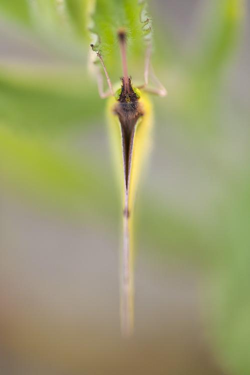 Borboleta Maravilha - Clouded Yellow, (Colias Croceus)