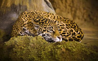 Animales Jaguar Felinos