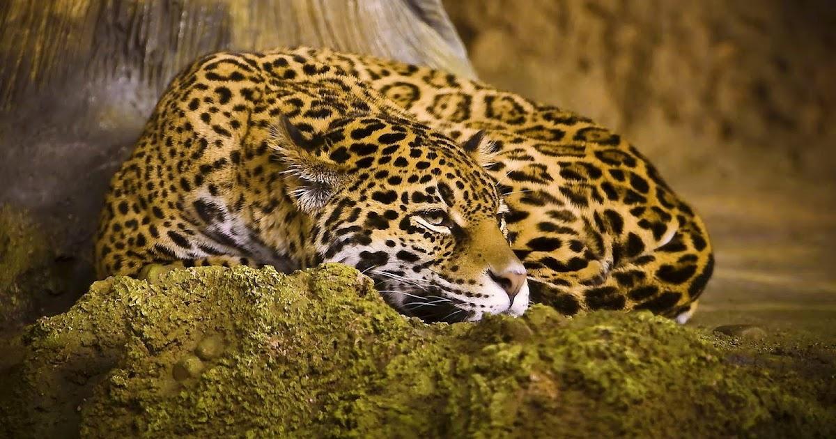 banco de im genes hermoso jaguar fondo de 1920x1200px pc y laptop. Black Bedroom Furniture Sets. Home Design Ideas