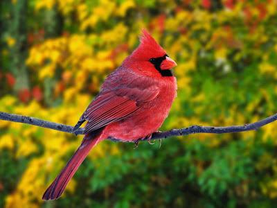 الكاردينال الأحمر