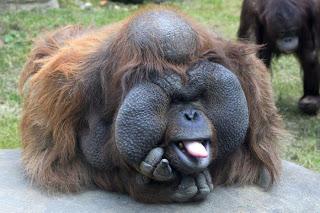 Funny Orangutan