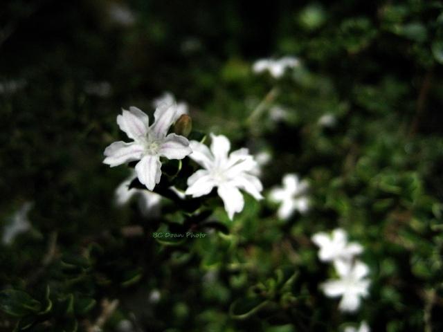 Beyond zephyr spotting little white flowers spotting little white flowers mightylinksfo