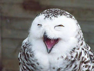 Funny Laughing Owl