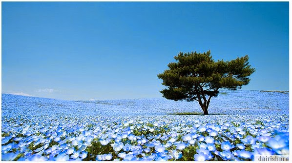 Keindahan Taman Bunga Hitachi Seaside Park Jepun
