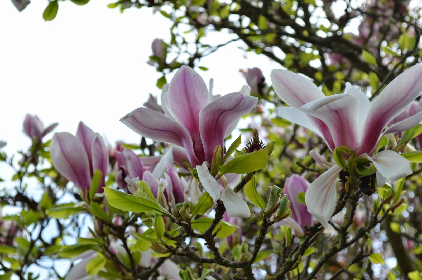 pretty, nature, magnolia, pink, purple, white, garden, full bloom, flowers, tree, garden, sky, photo, photograph, Canterbury