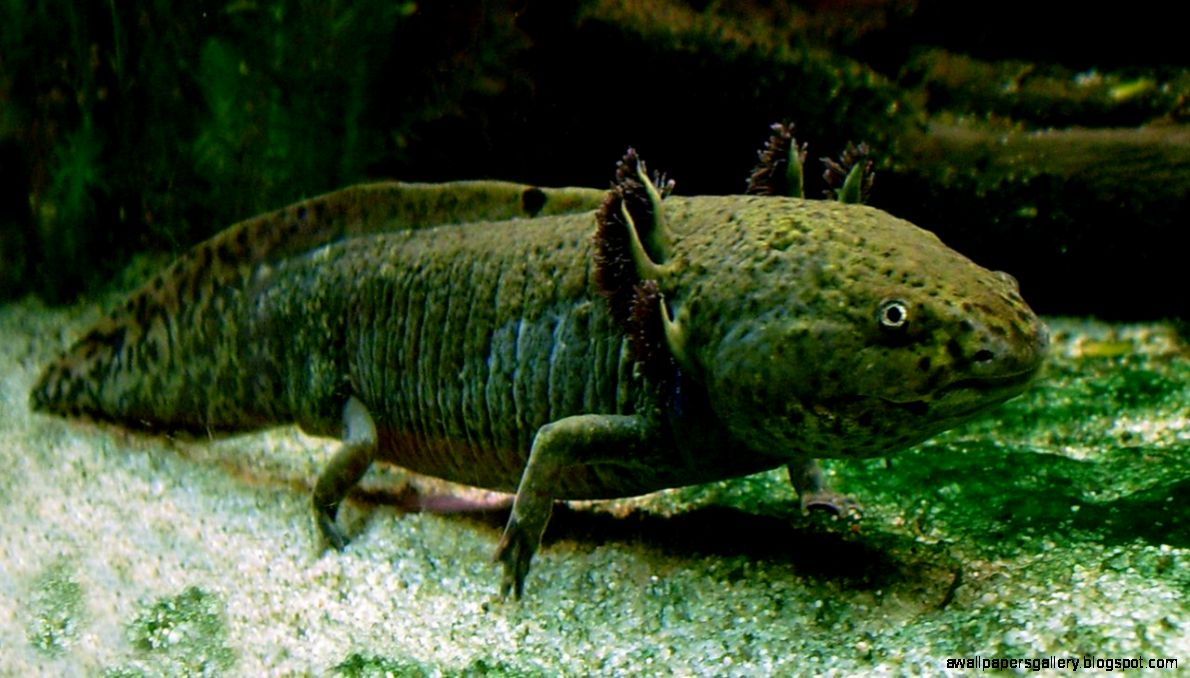Mexican walking fish habitat wallpapers gallery for Walking fish for sale
