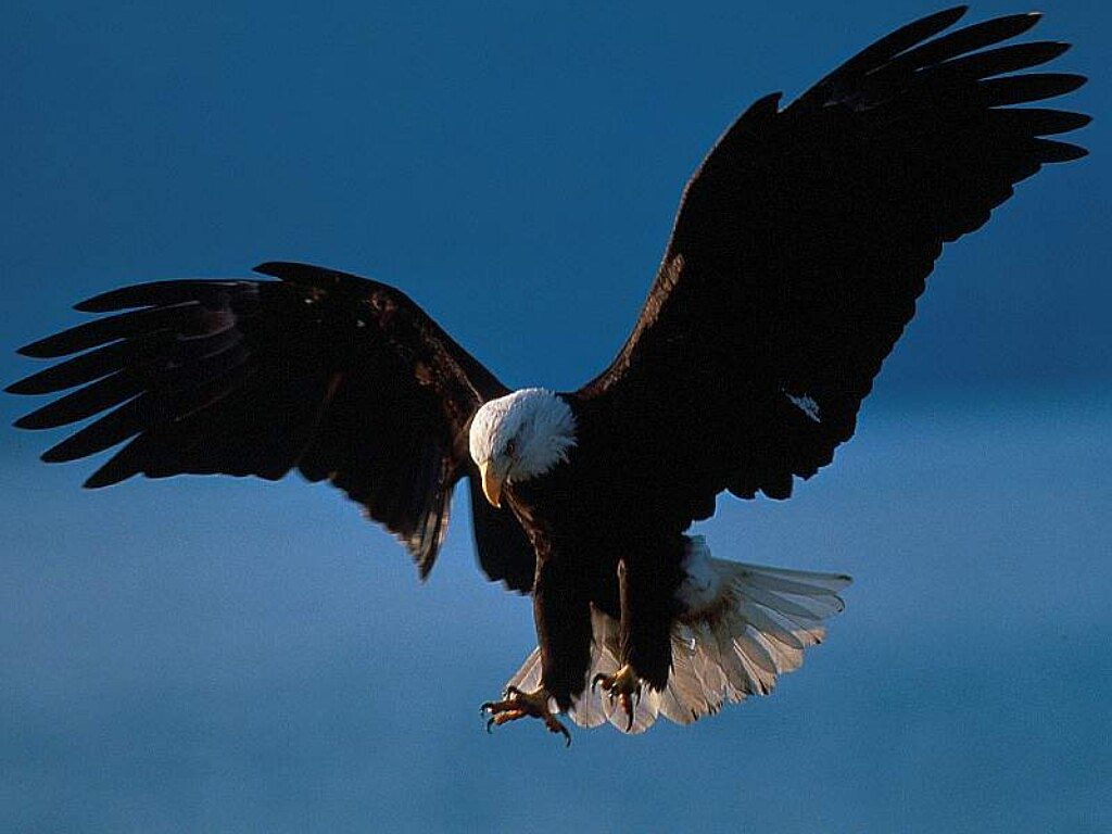 an introduction to the bald eagle in america Ohio division of wildlife life history notes bald eagle scientific name: haliaeetus leucocephalus introduction selecting a national symbol is no easy task.
