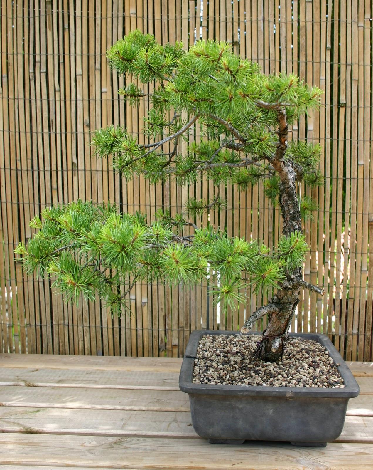 profession bonsa pins sylvestres bruts ou travaill s vendre l 39 arbre aux papillons. Black Bedroom Furniture Sets. Home Design Ideas