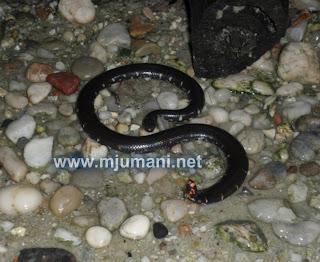 nama ilmiah ular kepala dua