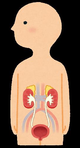腎臓と膀胱のイラスト(人体)