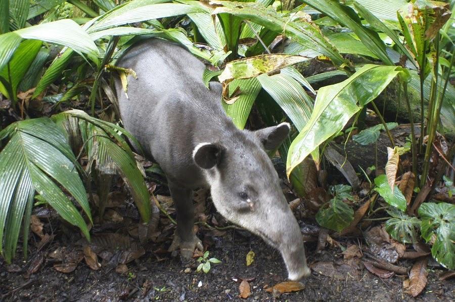 Costa Rican Tapir