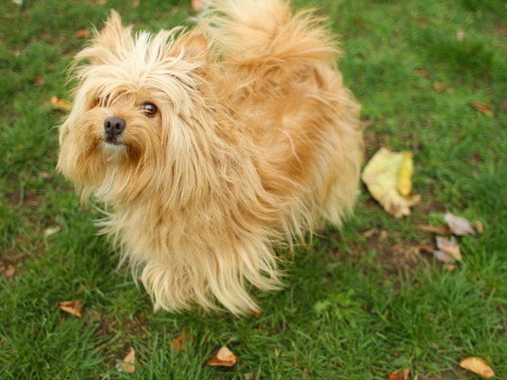 Nicki Lee - Yorkshire Cairn Terrier mix