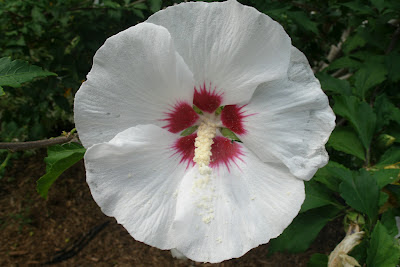 "Hibiscus syriacus ""Red Heart"" Rose of Sharon by garden muses: a Toronto gardening  blog"