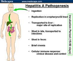 hepatitis, hepatitis A, penyakit, virus hepatitis, penyebab hepatitis, gejala hepatitis, inkubasi hepatitis, vaksin hepatitis, obat hepatitis, asal-usul hepatitis, pencegahan hepatitis, jenis hepatitis,
