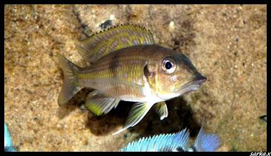 Gnathochromis permaxillaris F1