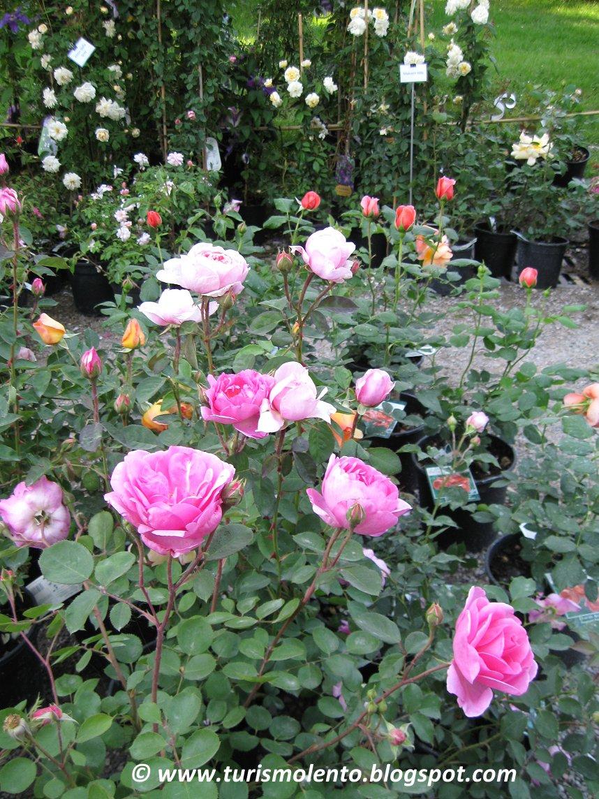 Turismo lento andare per rose la citt delle rose castel giuliano villa ephrussi il - Il giardino delle rose ...