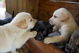 cachorro perros labradores