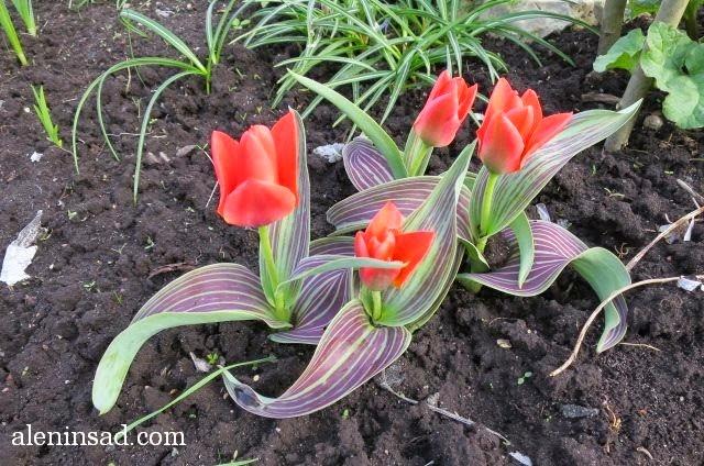 тюльпаны, Tulipa gesneriana, красные, низкорослые, полосатые листья, аленин сад