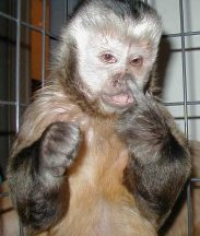 funny picture monkey picking at nose