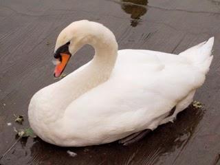 白鳥のイメージ写真