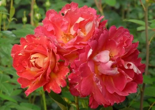 Meilland Decor Arlequin rose сорт розы фото