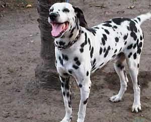27+ Anjing warna hitam putih terbaru