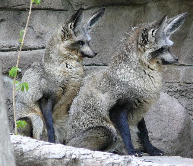 Bat eared fox - photo#4