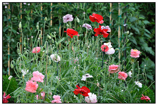 Multicolored annual poppies raised from seed