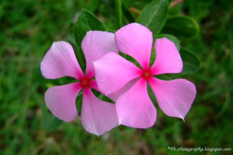 Periwinkle Flower Catharanthus roseus-Ma...
