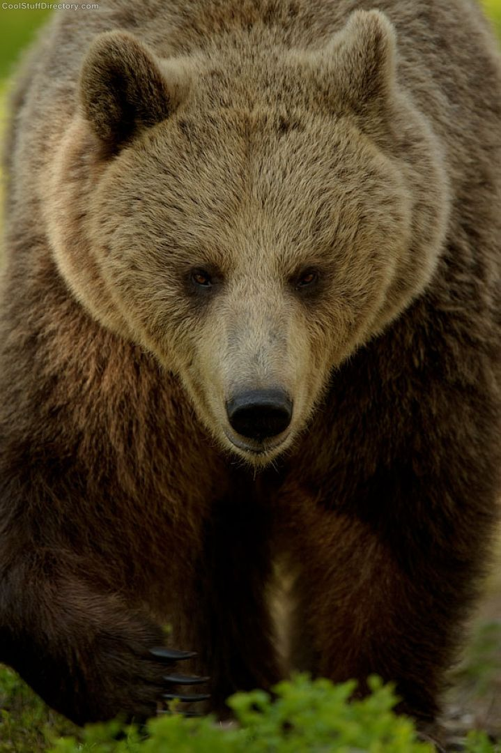 Did you just call me Yogi - European brown bear