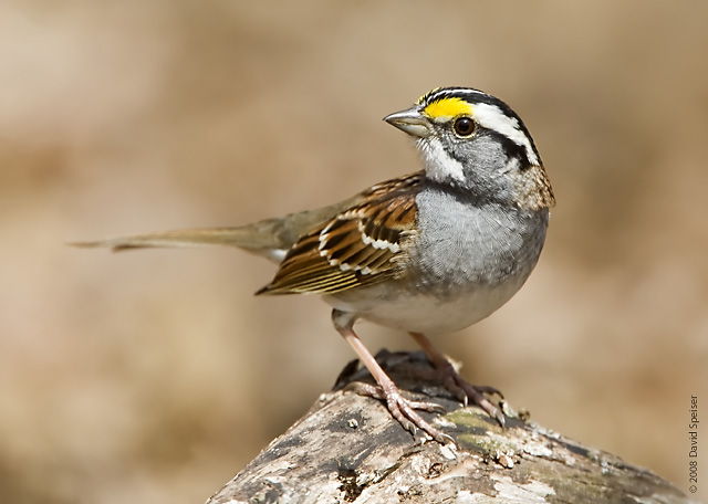 White Throat Sparrow 58
