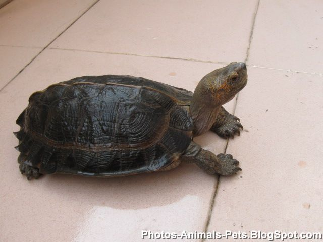 Turtle as pet