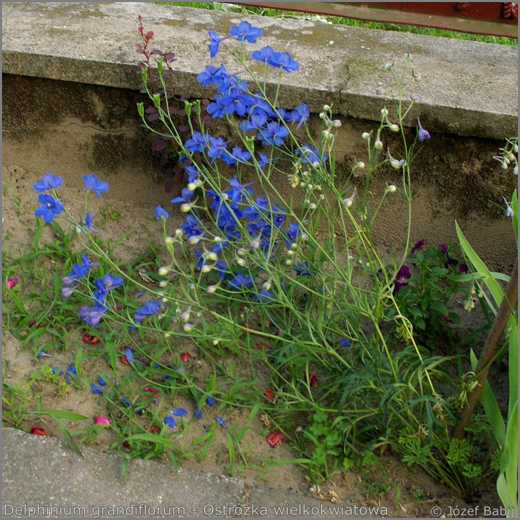 Delphinium grandiflorum Growth Habit of flowering plant  - Ostróżka wielkokwiatowa     pokrój kwitnącej rośliny