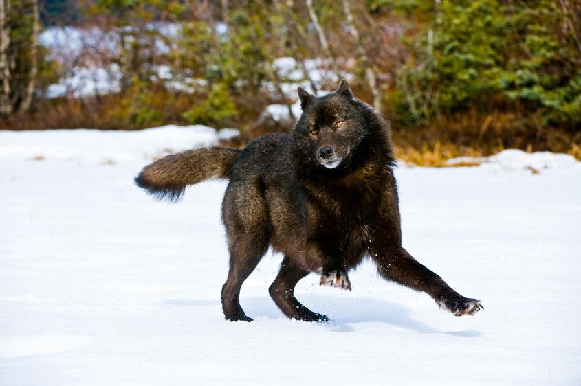 Communication 218_10475_Black_Wolf_Frolicking_in_Snow_Southeast_Alaska_20080407_DSC0967