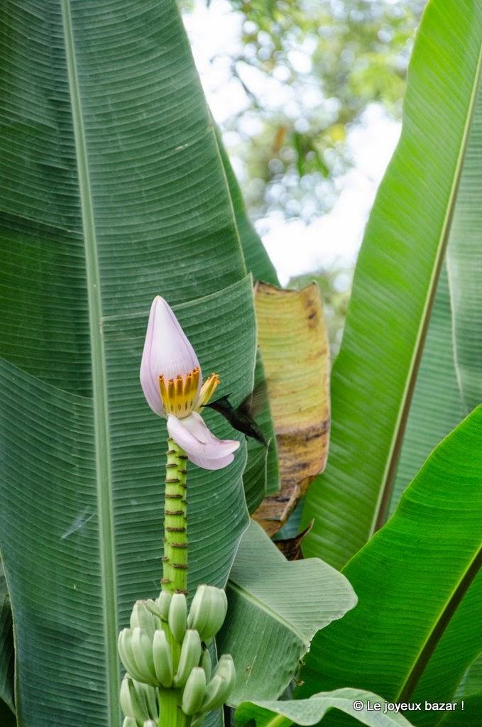 Guadeloupe  - Deshaies - jardin botanique - colibri