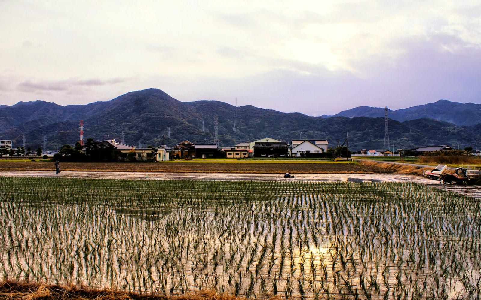 Flat paddy fields in Kumamoto in November.