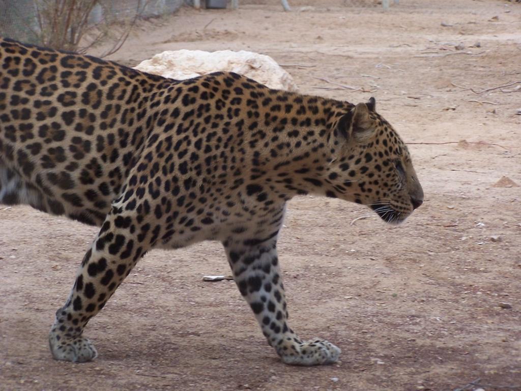 http://3.bp.blogspot.com/-OctWQ_NiPZg/T8hVuhTLi1I/AAAAAAAADB8/fDZot3sFhuQ/s1600/magnificent+Leopard+Tiger.jpg