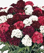Sweet William Mix (Dianthus )