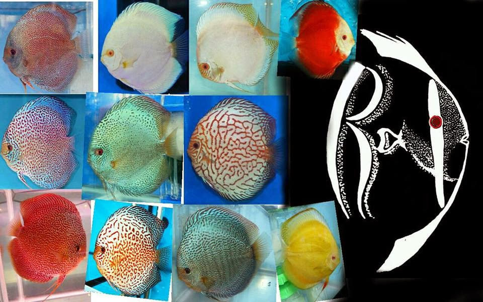 All about Discus fish keeping and breeding