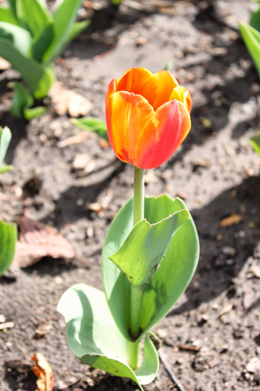Corn, Beans, Pigs and Kids: Tulip in Bloom