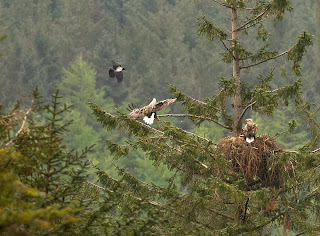 White tailed eagle with raven intruder