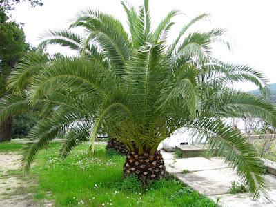 Arte y jardiner a palmera canaria phoenix canariensis for Aspiradora de hojas para jardin