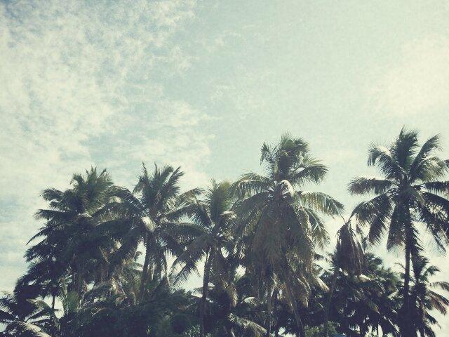 palmera puerto rico