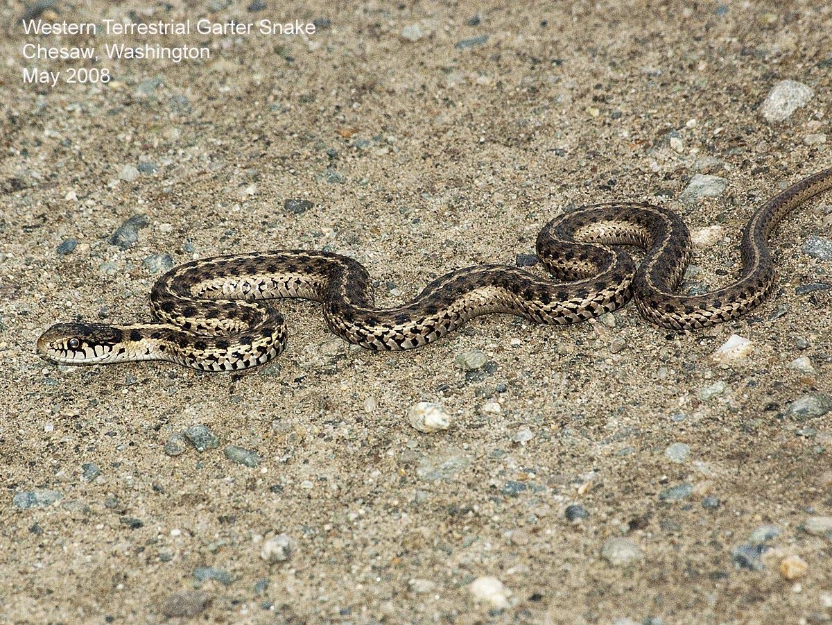 northwest nature notes garter snakes