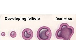 Many days after finishing clomid should you ovulate