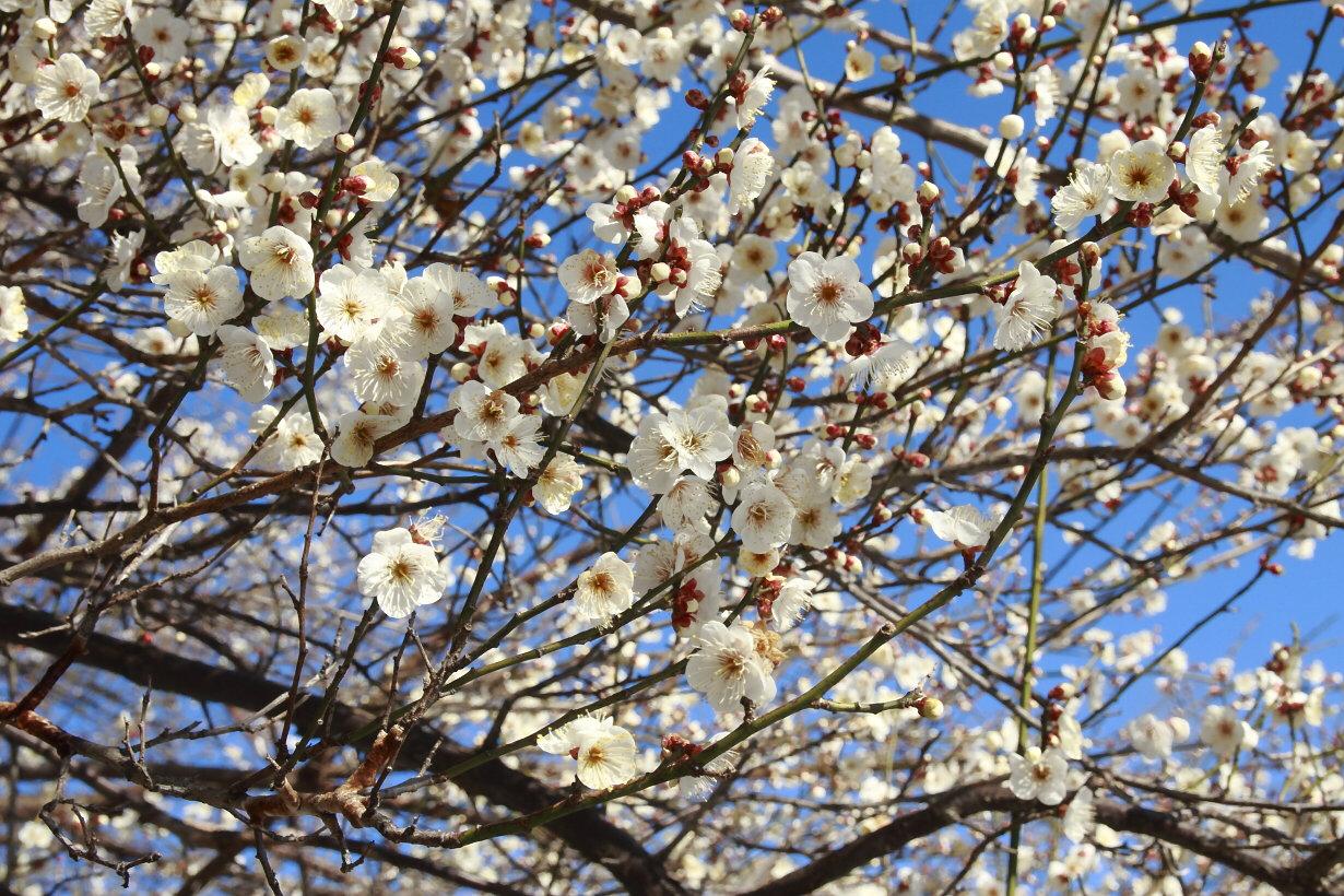 山崎の実梅